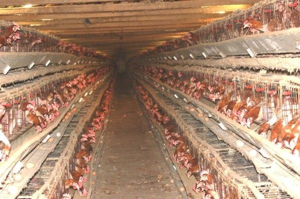 Battery-farmed chickens in cramped dirty conditions